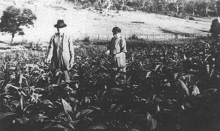 Hendries of Glenhurst Farm in tobacco crop