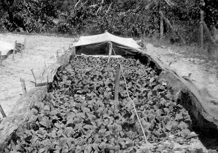 Tobacco seedlings